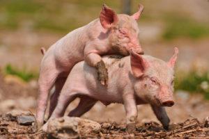 豚プラセンタエキス
